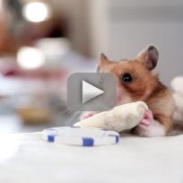 Tiny Hamster Eats Burrito
