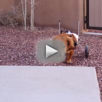 Dog Walks in Wheelchair