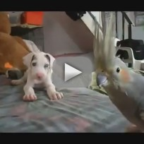Great Dane Protects Bird from Puppy
