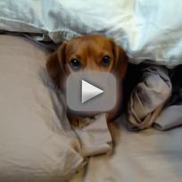Adorable Dog Stays in Bed
