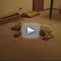 Dog Sleeps Walks, Crashes Into Wall