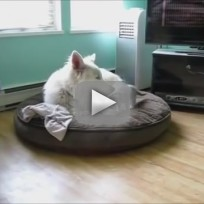 Kitten Bothers Tired Dog