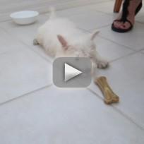 Puppy Grows Suspcious of Bone