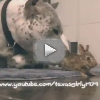 Pit-bull-befriends-bunny-gives-pal-tongue-bath