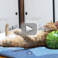 Cat-tries-to-nap-on-watermelon