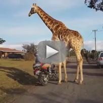 Giraffe Wants to Ride Motorcycle