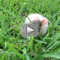 Piglet-hops-through-grass