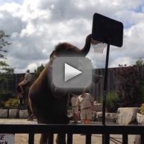 Elephant-dunks-a-basketball