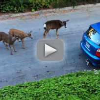 Deer Encounter Cat, Act Confused