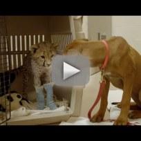 Puppy-comforts-cheetah