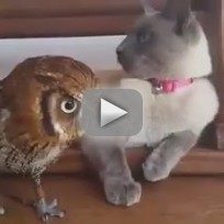 Cat-befriends-owl