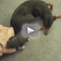 Piglet-flips-over-dog