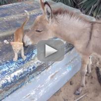 Donkey cuddles with kitten