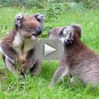 Koalas argue remain adorable