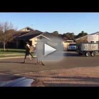Kangaroos brawl in the street