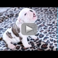 Baby Bulldog Tries Hard to Howl