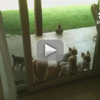 Cat opens door for dogs