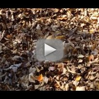 Dog plays fetch in leaf pile