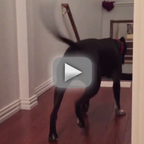 Pit Bull Walks Through Doorways Backward