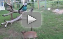 Kangaroo and Lemur Play