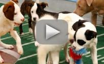 Puppy Bowl IX Preview