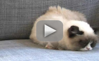 Grumpy Cat Harlem Shake Video
