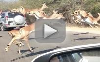 Cheetah Chases Impala Into Car