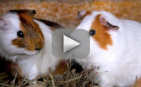 Guinea Pig Sex Annoys Neighbors