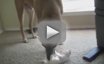 Military Dog Plays with Kitten