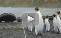 Penguins Continually Tumble Over Rope