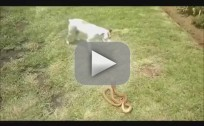 Jack Russell Terrier vs. Cobra