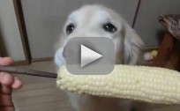 Golden Retriever Eats Corn Like Humans
