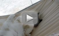 Cat Learns How to Use Hammock