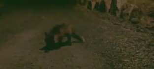 Fox steals iphone