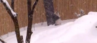 Baby panda loves the snow