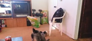 Tiny Dog Defends Food Bowl Against Much Larger Foe