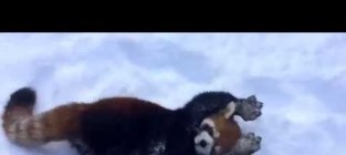 Red pandas love the snow