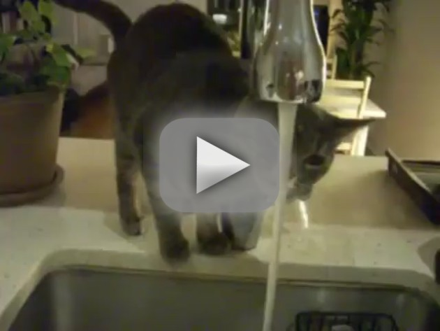 Cat Tries, Fails to Drink Water