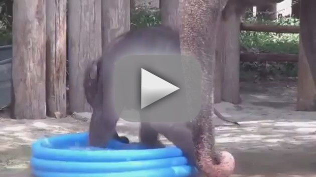 Baby Elephant Plays in Pool