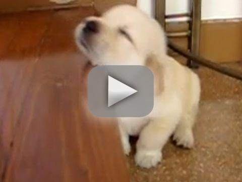 Golden Retriever Puppy Falls Asleep