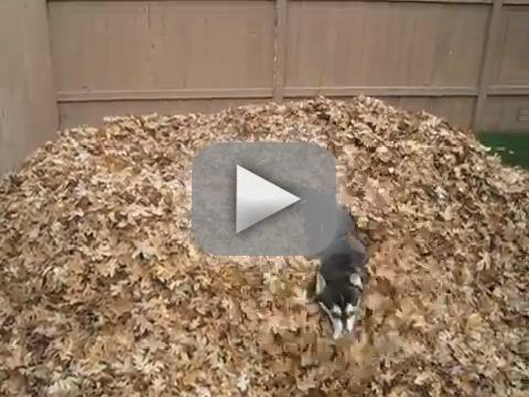 Husky Plays in Leaves
