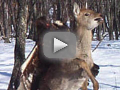 Eagle Attacking Deer: See the Photo!