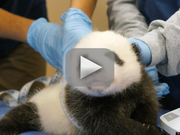 The Panda Cam Returns!