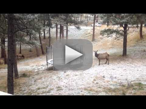 Elk Jumps on a Trampoline!