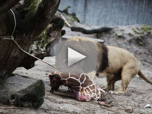Giraffe Fed to Lions in Copenhagen