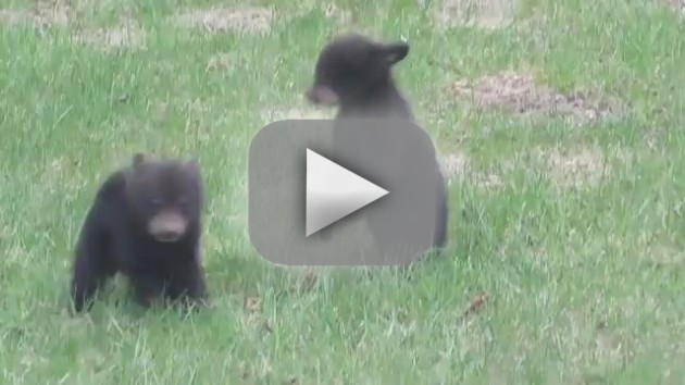 Baby Bears Fight, Are Adorable