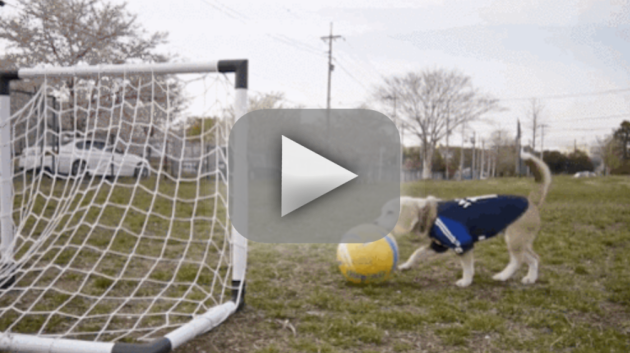 Beagle Plays Soccer, Scores a Goal