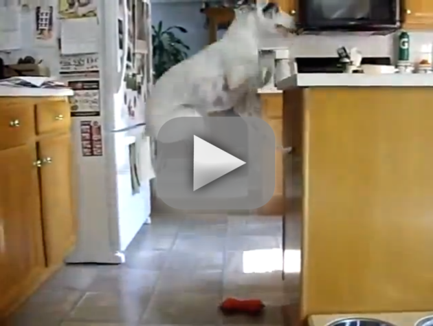 Dog Jumps for Joy Over Dinner