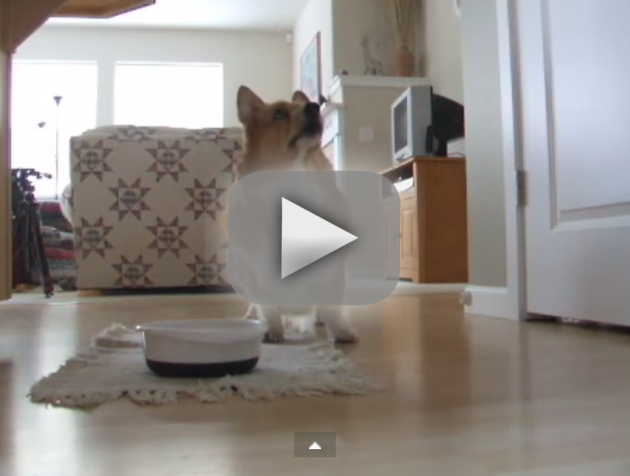 Corgi Can't Wait to Eat!