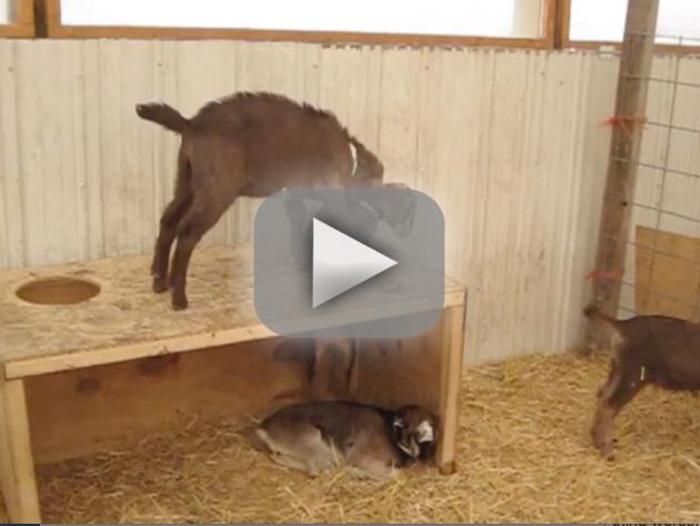 Goat Fails to Help Fellow Goat